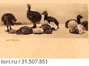 Купить «Unidentified young birds, 1904 postcards, 1904, Just Hatched», фото № 31507851, снято 24 января 2019 г. (c) age Fotostock / Фотобанк Лори