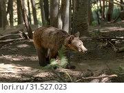 Eurasian brown bear (Ursus arctos) in the forest. Стоковое фото, фотограф Татьяна Ляпи / Фотобанк Лори
