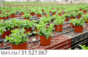 Купить «Image of seedlings of mint growing in pots in greenhouse, nobody», видеоролик № 31527067, снято 26 апреля 2019 г. (c) Яков Филимонов / Фотобанк Лори
