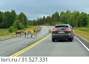 Купить «Reindeers (Rangifer tarandus) with cubs stand on road and hinder car traffic», фото № 31527331, снято 6 июля 2019 г. (c) Валерия Попова / Фотобанк Лори