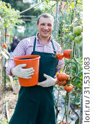 Купить «Worker harvesting tomatoes on plantation», фото № 31531083, снято 13 августа 2018 г. (c) Яков Филимонов / Фотобанк Лори