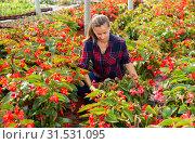 Купить «Woman farmer checking blooming begonias», фото № 31531095, снято 17 июля 2019 г. (c) Яков Филимонов / Фотобанк Лори