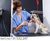 Купить «Woman grooming havanese in salon», фото № 31532247, снято 27 августа 2018 г. (c) Яков Филимонов / Фотобанк Лори