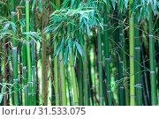 Купить «Бамбуковая роща. Фрагмент со стволами и листьями молодых деревьев», фото № 31533075, снято 18 сентября 2016 г. (c) Татьяна Белова / Фотобанк Лори