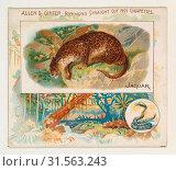 Купить «Jaguar, from Quadrupeds series (N41) for Allen & Ginter Cigarettes, 1890, Commercial color lithograph, Sheet: 2 7/8 x 3 1/4 in. (7.3 x 8.3 cm), Large trade...», фото № 31563243, снято 27 апреля 2017 г. (c) age Fotostock / Фотобанк Лори