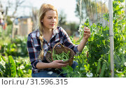 Купить «Young woman gardener attentively selecting fresh harvest of pea to basket», фото № 31596315, снято 28 февраля 2019 г. (c) Яков Филимонов / Фотобанк Лори