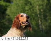 Купить «Portrait of a dog breed Russian hunting spaniel in the forest», фото № 31622275, снято 14 июля 2019 г. (c) Яна Королёва / Фотобанк Лори