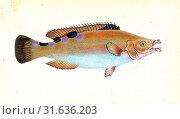 Whiff, Pleuronectes megastoma, 1804, British fishes, Donovan, E. (Edward), 1768-1837, (Author) (2016 год). Редакционное фото, фотограф Artokoloro / age Fotostock / Фотобанк Лори