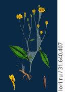 Купить «Lapsana communis, Common Nipple-wort», фото № 31640407, снято 22 апреля 2013 г. (c) age Fotostock / Фотобанк Лори