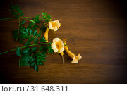 Купить «Blooming curly flower kampsis on a branch, on a wooden table», фото № 31648311, снято 18 июля 2019 г. (c) Peredniankina / Фотобанк Лори