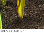Plant stems grow from the soil. Стоковое фото, фотограф Евгений Харитонов / Фотобанк Лори