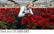 Купить «Experienced middle-aged female arranging poinsettia plants while gardening in glasshouse», видеоролик № 31689043, снято 29 ноября 2018 г. (c) Яков Филимонов / Фотобанк Лори