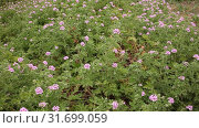 Купить «Blooming Geranium plants in their natural habitat in springtime», видеоролик № 31699059, снято 31 марта 2019 г. (c) Яков Филимонов / Фотобанк Лори