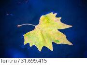 Купить «Желтый кленовый лист на поверхности воды», фото № 31699415, снято 18 сентября 2016 г. (c) Татьяна Белова / Фотобанк Лори