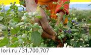 Купить «Worker picking blueberries in blueberry farm 4k», видеоролик № 31700707, снято 11 сентября 2018 г. (c) Wavebreak Media / Фотобанк Лори