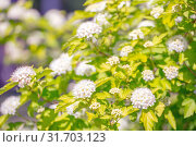 Купить «beautiful background of flowering shrubs. Spirey May bride in summer sunny day», фото № 31703123, снято 1 июня 2019 г. (c) Акиньшин Владимир / Фотобанк Лори