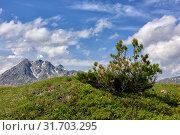 Купить «Кедровый стланик ( Pinus pumila ) на вершине горы», фото № 31703295, снято 11 июля 2019 г. (c) Виктор Никитин / Фотобанк Лори