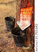 Купить «Cuts on pine trunk to collect resin», фото № 31703643, снято 25 февраля 2020 г. (c) Яков Филимонов / Фотобанк Лори