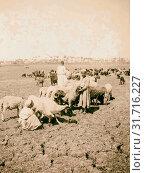 Flocks in the fields of Memphis 1900, Egypt, Memphis (Extinct city) (2018 год). Редакционное фото, фотограф © Liszt Collection / age Fotostock / Фотобанк Лори