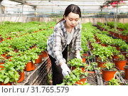 Купить «Chinese woman caring for mint plant in a greenhouse», фото № 31765579, снято 3 июня 2019 г. (c) Яков Филимонов / Фотобанк Лори