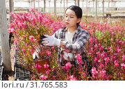 Купить «Chinese woman gardener is standing with flowers Oenothera lindheimeri in orangery», фото № 31765583, снято 3 июня 2019 г. (c) Яков Филимонов / Фотобанк Лори