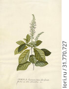 Spiraea, Georg Dionysius Ehret (German, 1708 - 1770), Germany, 1743, Gouache and graphite on vellum, 47.3 x 33.7 cm (18 5,8 x 13 1,4 in.) (2018 год). Редакционное фото, фотограф © Liszt Collection / age Fotostock / Фотобанк Лори