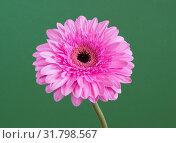 Купить «beautiful pink gerbera on a green background», фото № 31798567, снято 12 марта 2014 г. (c) Володина Ольга / Фотобанк Лори