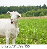 Купить «Смешная белая коза на поляне рядом с лесом», фото № 31799155, снято 23 июля 2019 г. (c) Екатерина Овсянникова / Фотобанк Лори