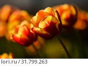Жёлто красные тюльпаны освещённые солнцем. Стоковое фото, фотограф Игорь Низов / Фотобанк Лори