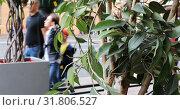 Купить «Ornamental trees with bright green leaves on the sidewalk of the roadway», видеоролик № 31806527, снято 27 декабря 2018 г. (c) Aleksandr Sulimov / Фотобанк Лори