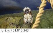 Купить «Black and white colobus monkeys (Colobus guereza), closeup», фото № 31813343, снято 23 июля 2019 г. (c) Владимир Журавлев / Фотобанк Лори