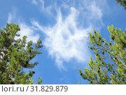 Купить «Перистые облака в обрамлении ветвей сосны летним днем», фото № 31829879, снято 25 июля 2019 г. (c) Григорий Писоцкий / Фотобанк Лори