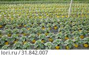 Купить «Seedlings of decorative sunflowers growing in pots in sunny greenhouse», видеоролик № 31842007, снято 26 апреля 2019 г. (c) Яков Филимонов / Фотобанк Лори