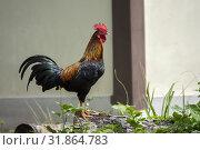Rooster. Telok Melano , Sematan, Sarawak, Malaysia. Стоковое фото, фотограф Chua Wee Boo / age Fotostock / Фотобанк Лори