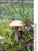 Купить «Edible mushroom is in forest in moss», фото № 31879543, снято 4 сентября 2011 г. (c) Кекяляйнен Андрей / Фотобанк Лори
