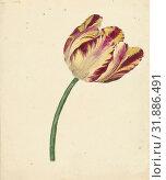 Купить «Yellow-red tulip, Anonymous, 1700 - 1800», фото № 31886491, снято 3 декабря 2014 г. (c) age Fotostock / Фотобанк Лори
