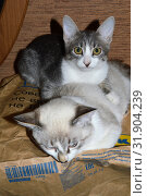 Котята близнецы Лесли и Лучик  на пакете от Икеа Kittens twins Leslie and Ray on a package from Ikea (2019 год). Редакционное фото, фотограф Светлана Федорова / Фотобанк Лори