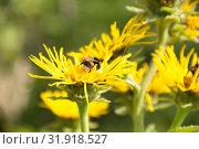 Купить «Шмель на цветке лекарственного растения девясил высокий», фото № 31918527, снято 20 июля 2019 г. (c) Дудакова / Фотобанк Лори