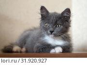 Купить «Трехмесячный серый котенок», фото № 31920927, снято 29 июля 2019 г. (c) Елена Коромыслова / Фотобанк Лори