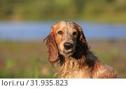 Купить «Dog breed Russian hunting spaniel outdoors portrait», фото № 31935823, снято 31 июля 2019 г. (c) Яна Королёва / Фотобанк Лори