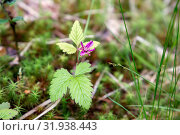 Дикая княженика (лат. Rúbus árcticus) растет в лесу. Стоковое фото, фотограф Наталья Осипова / Фотобанк Лори