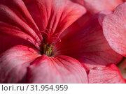 Купить «Пеларгония зональная Pelargonium zonale Willd», фото № 31954959, снято 14 июля 2019 г. (c) А. А. Пирагис / Фотобанк Лори