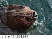 Купить «Морской лев Стеллера, или сивуч», фото № 31954999, снято 3 февраля 2019 г. (c) А. А. Пирагис / Фотобанк Лори