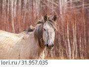 Купить «Hungry horses graze in early spring in the meadow.», фото № 31957035, снято 24 апреля 2019 г. (c) Акиньшин Владимир / Фотобанк Лори