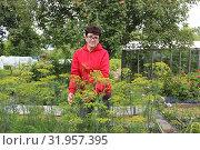 Сбор урожая. Женщина у грядки с укропом. Стоковое фото, фотограф Ирина Краснова / Фотобанк Лори