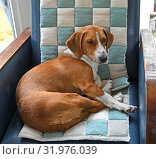 Drever, breed of dog, short-legged scenthound from Sweden used for hunting deer and other game. Dog on armchair. Стоковое фото, фотограф Валерия Попова / Фотобанк Лори
