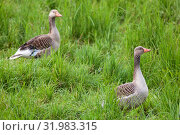 Купить «Greylag Goose on a grass field», фото № 31983315, снято 13 июля 2020 г. (c) easy Fotostock / Фотобанк Лори