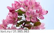 Close up pink Asian wild crabapple tree blossom. Стоковое видео, видеограф Anton Eine / Фотобанк Лори