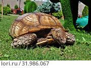 Купить «Гигантская черепаха ест траву на газоне», фото № 31986067, снято 4 апреля 2019 г. (c) Лариса Вишневская / Фотобанк Лори