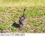 Купить «Маленький серый котенок. Солнечный день. Лето», фото № 31986091, снято 4 августа 2019 г. (c) Екатерина Овсянникова / Фотобанк Лори